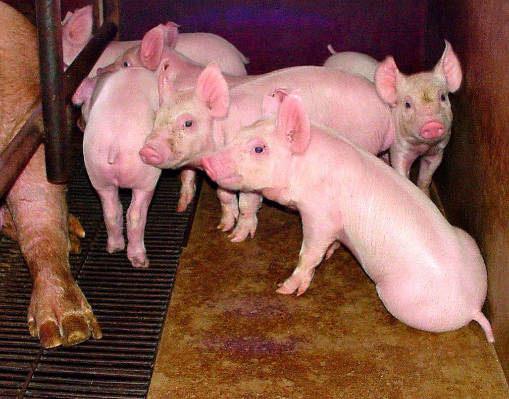 Living Pigs