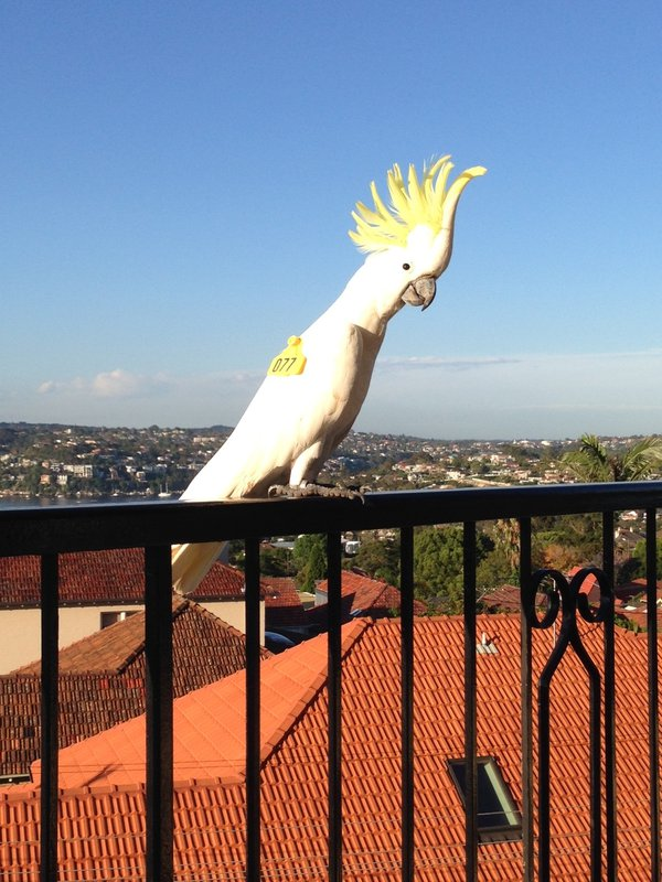 Cockatoo #077, named Doepel, spotted by a citizen scientist in Cremorne.