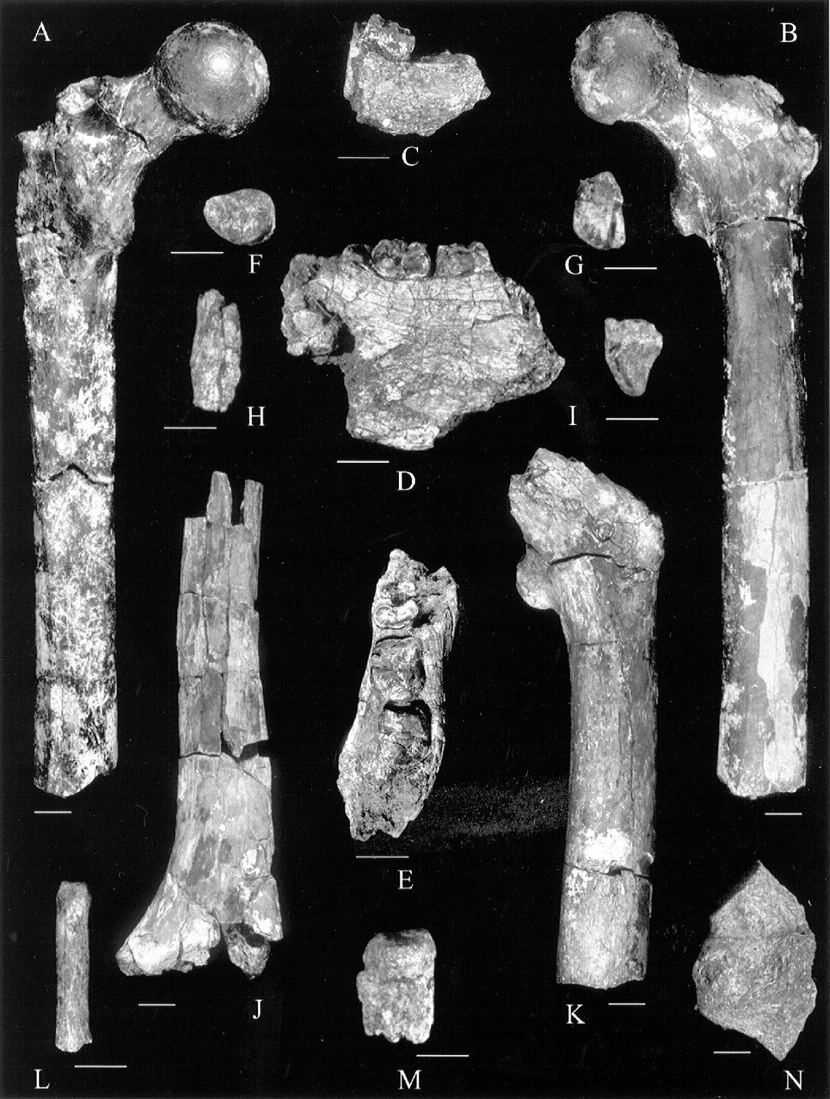 Orrorin tugenensis - The Australian Museum Fossil Orrorin Tugenensis Was A Partial