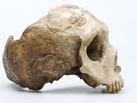 Le Moustier Homo neanderthalensis skull side view