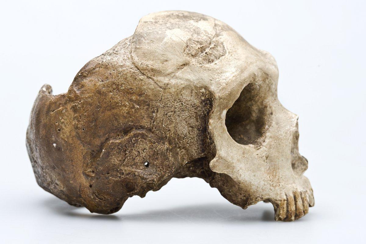 95c34d4c78f Homo neanderthalensis – The Neanderthals - The Australian Museum