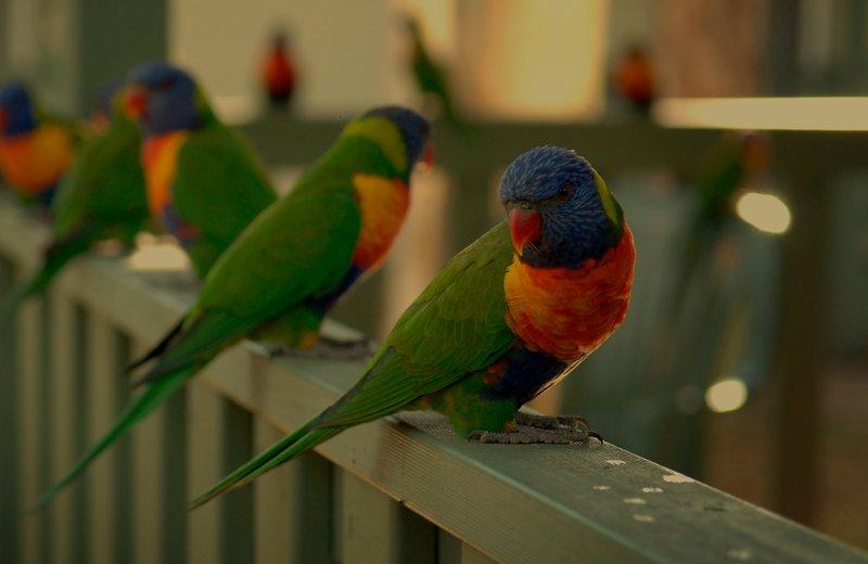 Rainbow Lorikeets on a fence