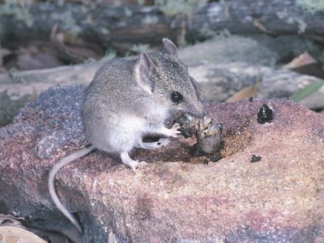 Common Dunnart, Sminthopsis murina