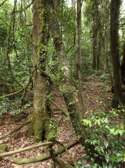 Interior rainforest of Werrikimbe National Park