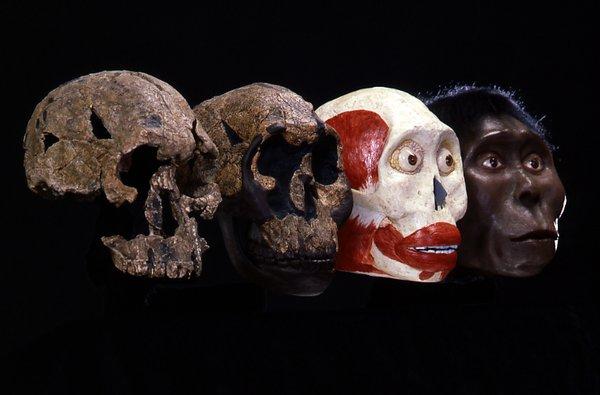 Cast and recontruction of Homo rudolfensis.