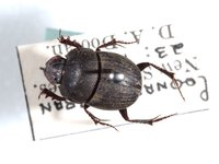 Onthophagus depressus