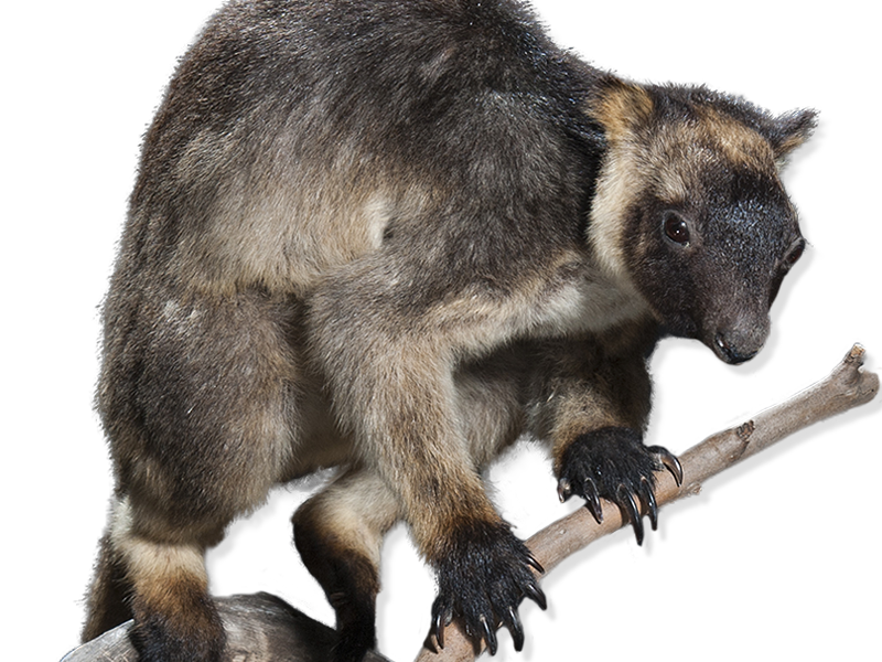 Taxidermy tree kangaroo