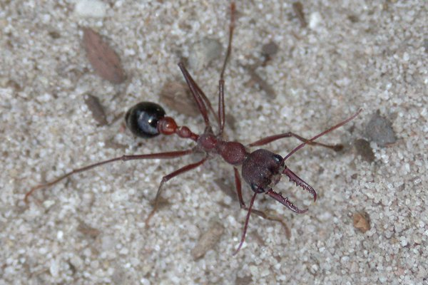 Bull ant, Genus Myrmecia