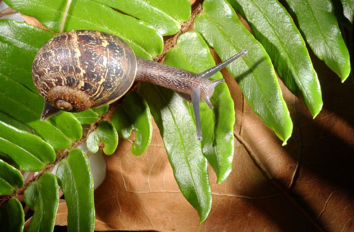 Garden Snail - The Australian Museum