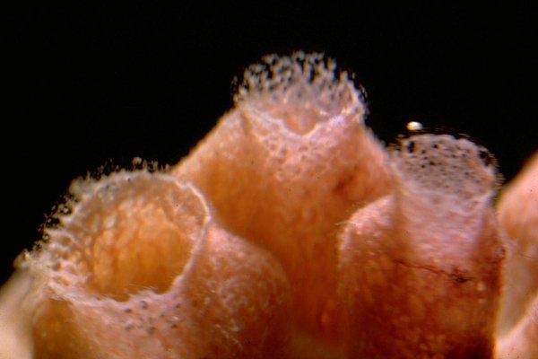 Dendrilla rosea