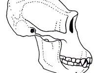Illustration of a Chimpanzee skull