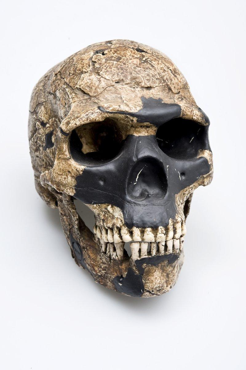 Skull & lower jaw - Skhul 5 skull Homo sapiens front view
