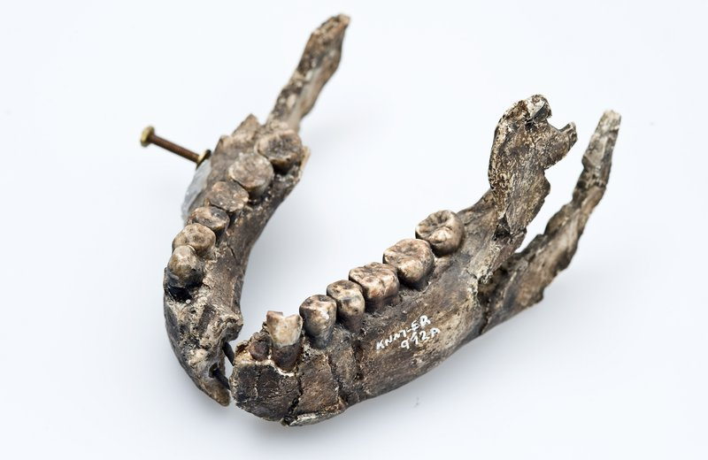 Homo ergaster lower jaw cast