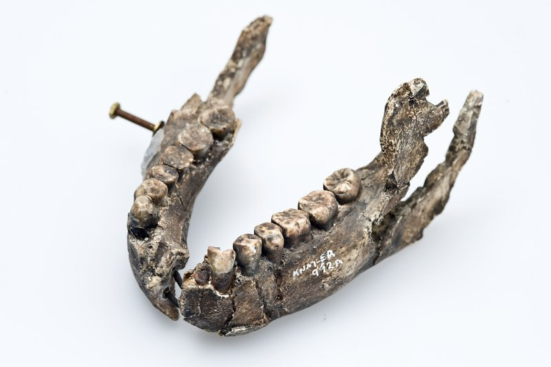 Homo ergaster lower jaw cast