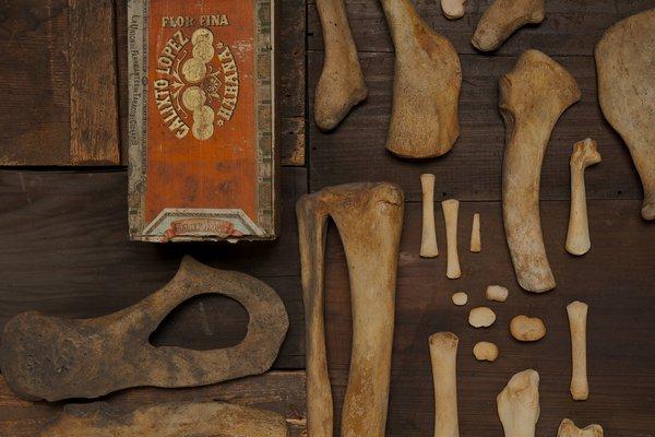 Sea lion bones