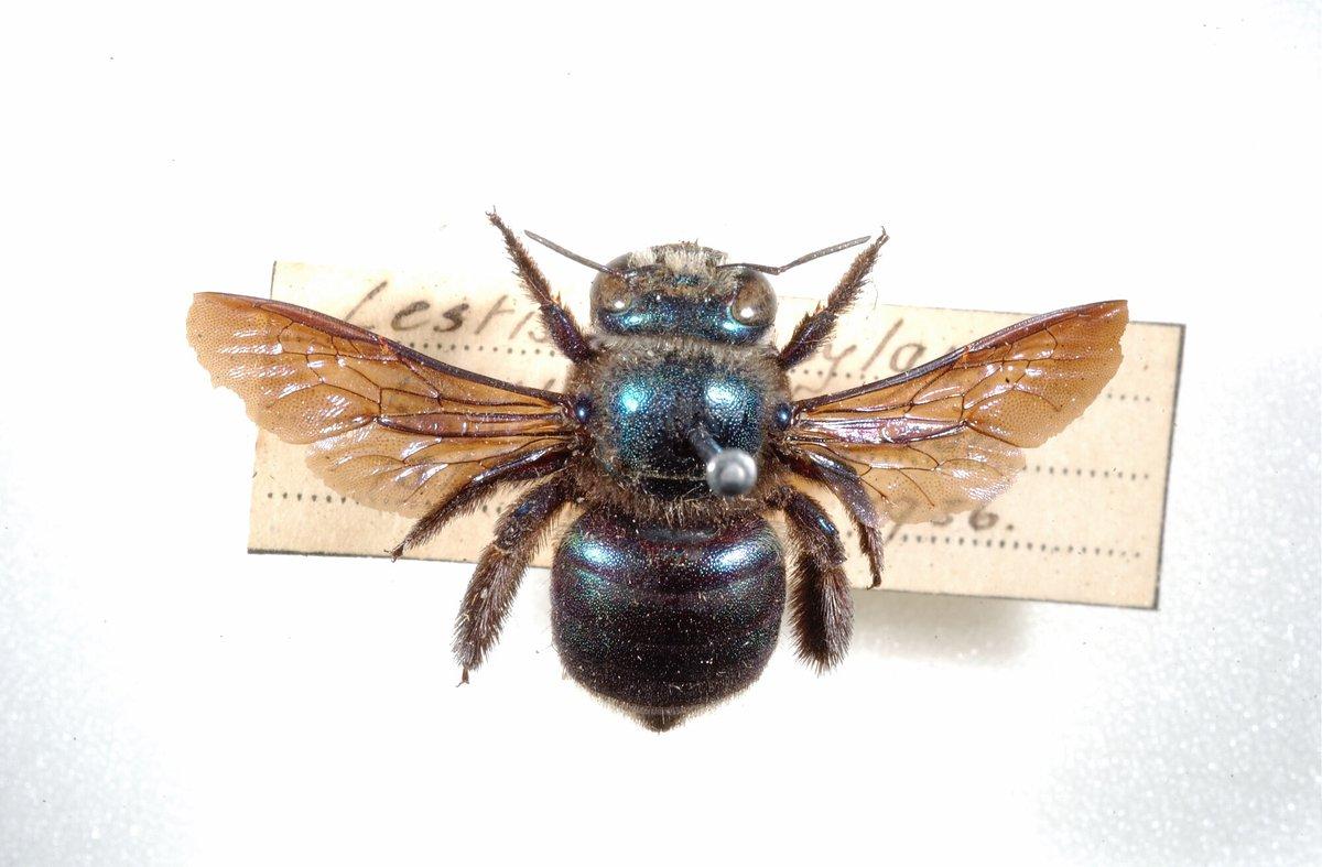 Carpenter bees - photo#33