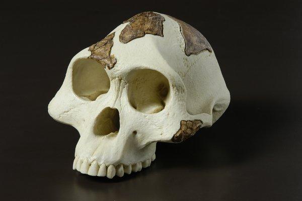 'Lucy' Australopithecus afarensis skull