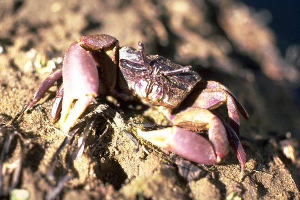 Heloecius cordiformis