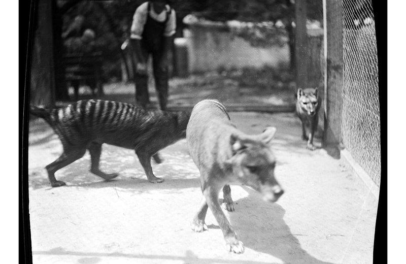 Thylacine at Hobart Zoo