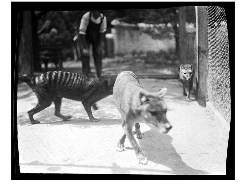 Thylacine at Hobart Zoo