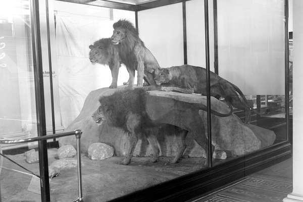 Lions on exhibition 1919