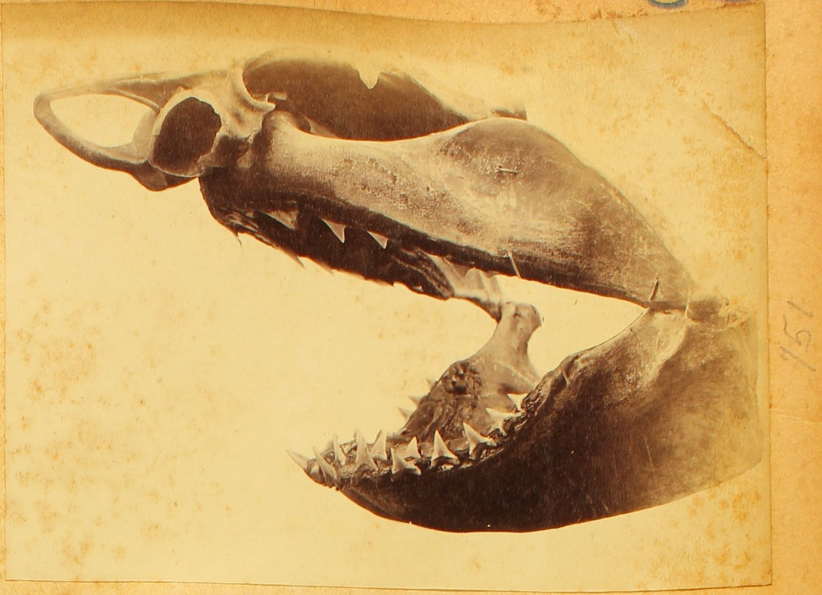 Broadnose shark skull photograph c1880s