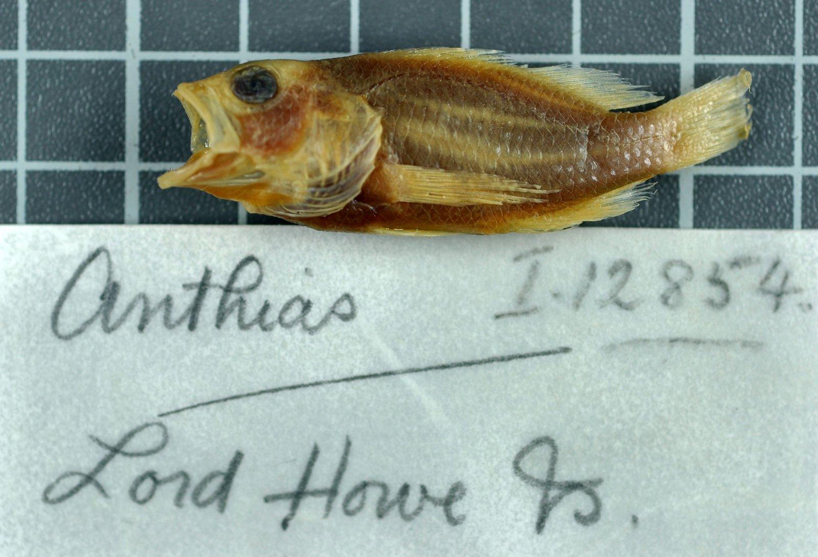 Plectranthias cruentus, AMS I.12854, 43.0 mm SL, Australia, Lord Howe Island, P.R. Pedley, 1913.