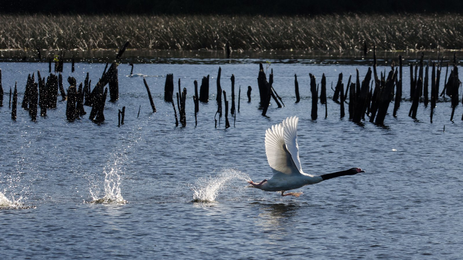 A black-necked swan (Cygnus melancoryphus) takes off for greener pastures.