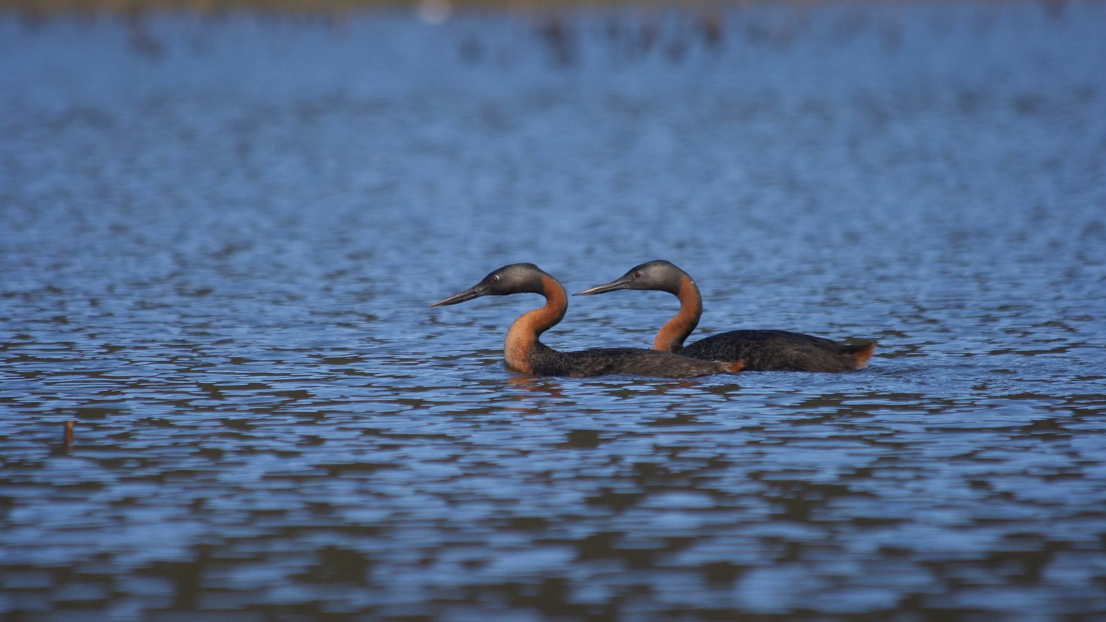 A pair of cormorants paddle up the Río Cruces.