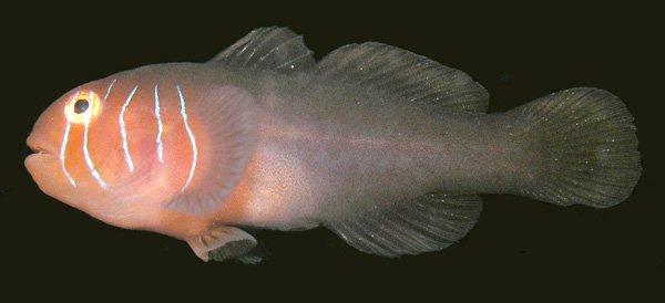 A Coralgoby, Gobiodon prolixus