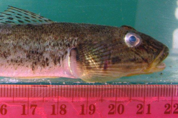 Acanthogobius flavimanus