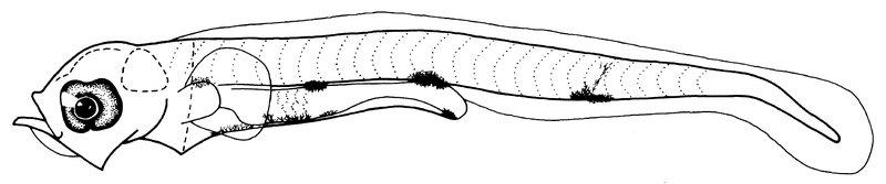 Achoerodus viridis, Blue Groper