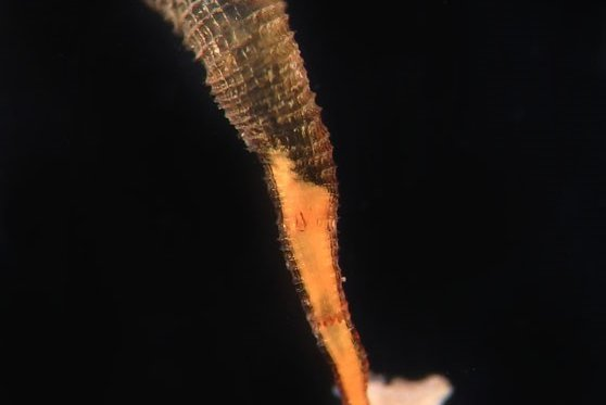 An Atorella from the Australian Museum Cnidarian Collection