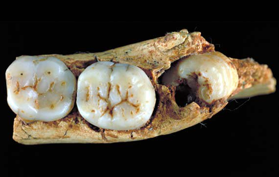 <i>Homo antecessor</i> ATD6-5, partial jaw with teeth
