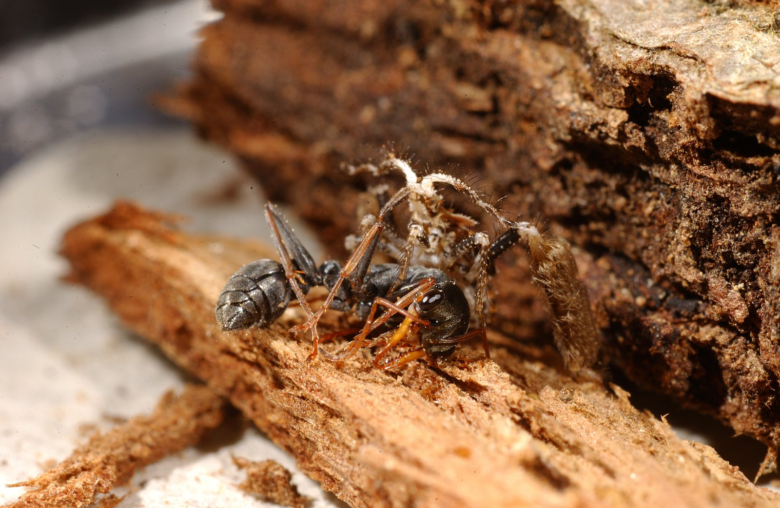 Assassin bug and Jumping Jack Ant