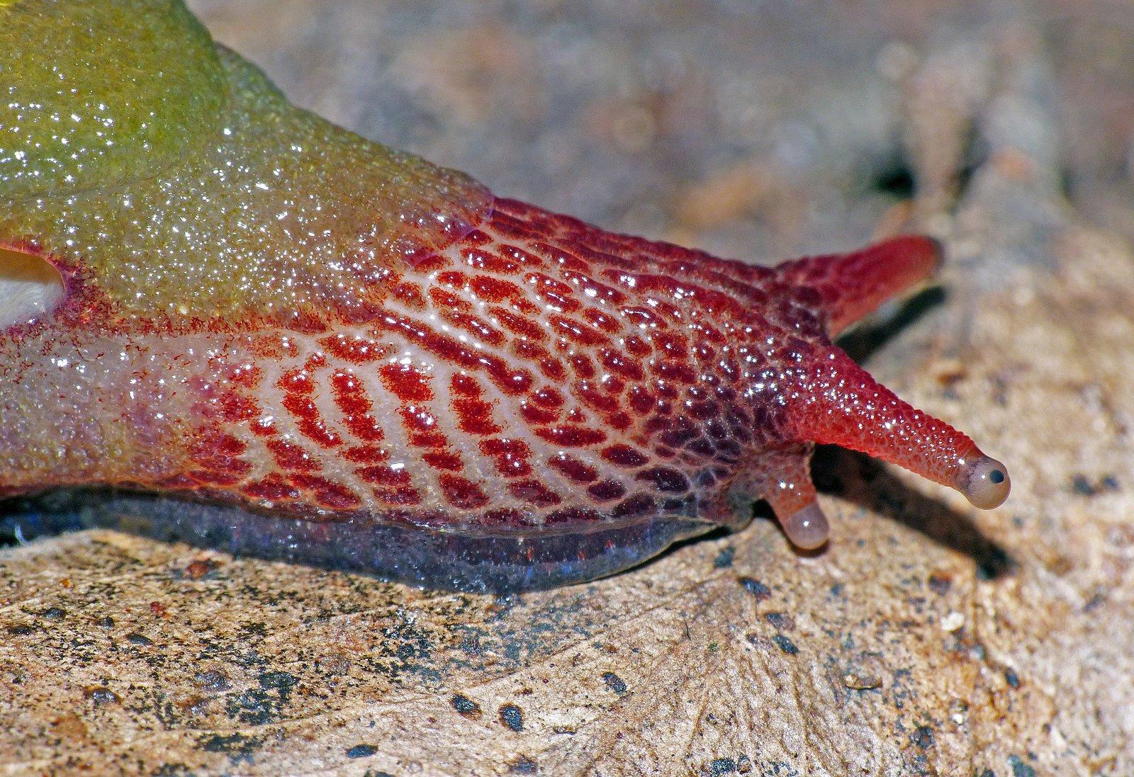 <i>Attenborough rubicundus </i>