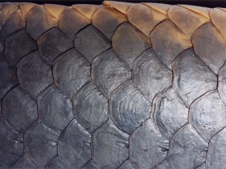 Australian Lungfish scales