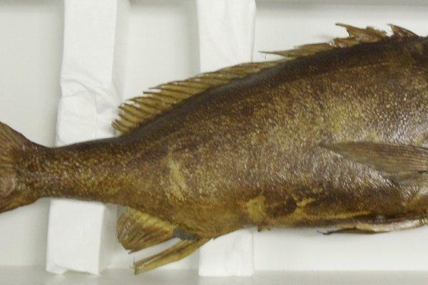 B.5912 - Paristiopterus labiosus