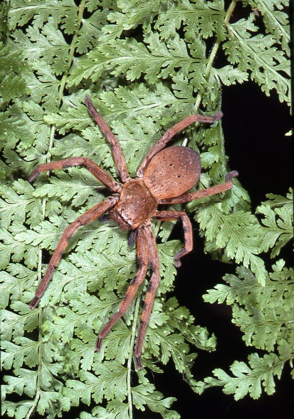 Badge Huntsman Spider, Neosparassus sp.