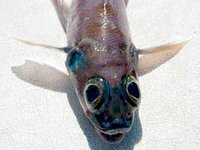 Banded Cucumberfish, Paraulopus balteatus