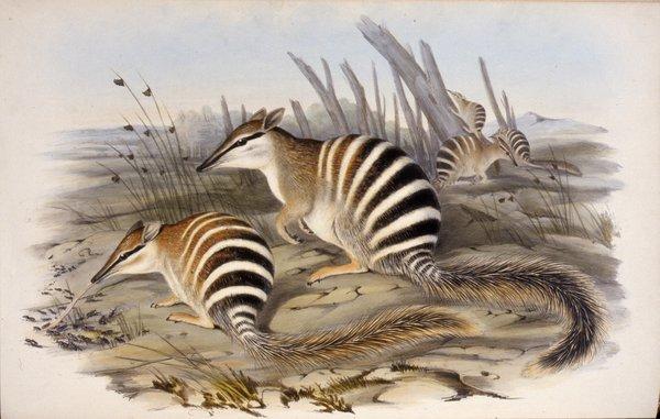 Banded Myrmecobius Myrmecobius fasciatus The Mammals of Australia 1845 to 1863