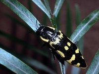 Banksia Jewel Beetle