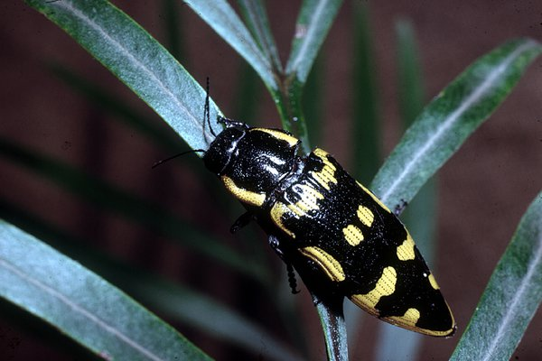 Banksia Jewel Beetle