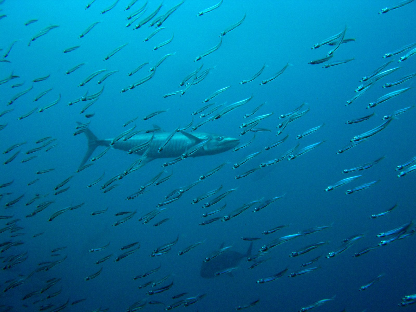 Barracuda and prey at High Rock