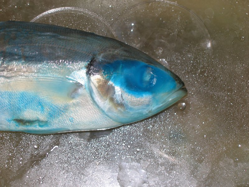 Barred Yellowtail Scad, Atule mate