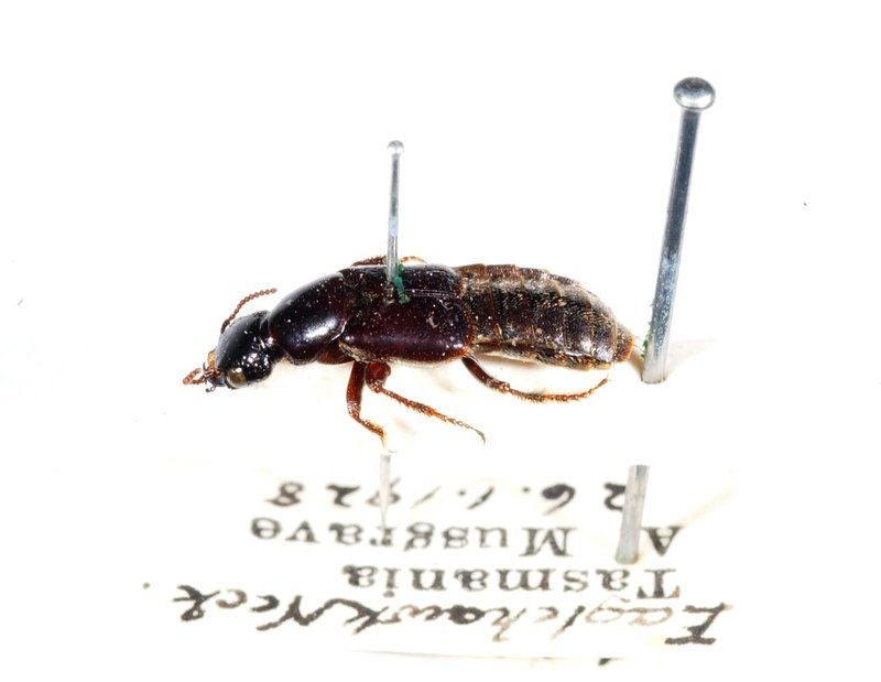 Beach rove beetle