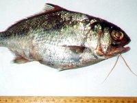 Beardfish, Polymixia berndti