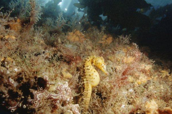 Bigbelly Seahorse, Hippocampus abdominalis
