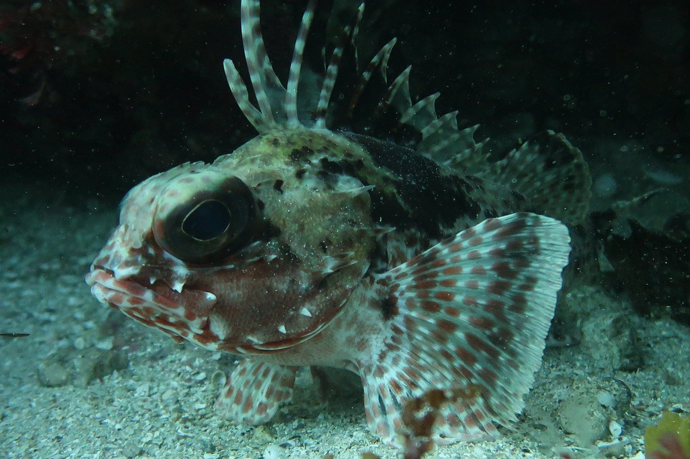 Bighead Gurnard Perch (Neosebastes pandus), a temperate species, noted here sheltering from the divers