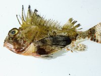 Bighead Gurnard Perch, Neosebastes pandus